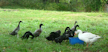 ducksInPasture_strip.png